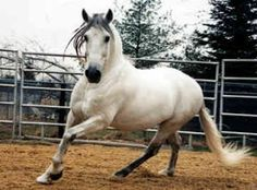 Such a gorgeous horse! Andalusians were the first horses used for dressage, and were executing flying changes when many other breeds were still being used for farm work.