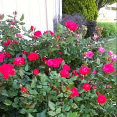 Knockout roses