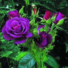 Purple rose - absolutely beautiful!!!