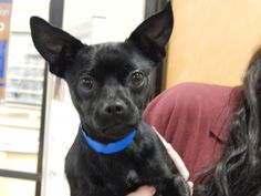 Taco is a social little Chihuahua male, who is about 2 years old. $25 adoption fee this week for all six Chihuahuas in rescue. Contact to apply. Pets Without Partners adoption events are 10 a.m. to 3 p.m. Saturdays at PetSmart in Redding. Go to www.petswithoutpartners.org. Go to www.redding.com for more pets.