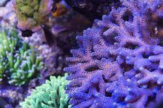 Jūrinis akvariumas Lps, Coral