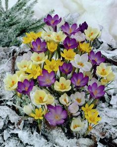 Snow Crocus, Crocus Specie 'Mixture' from Netherland Bulb Company - Grass-like foliage surrounds this chalice shaped flower. Snow crocus are easy to grow in well-drained soil in full sun to partial shade, are extremely hardy, and will even bloom during a snowstorm. Plant in waves in the garden or lawn. If planting in the lawn wait at least 6 weeks after the crocus have flowered to mow the lawn. Snow Crocus will multiply and come back year after year if left undisturbed.