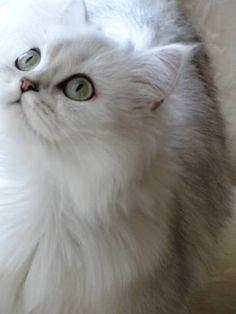 Chinchilla Persian