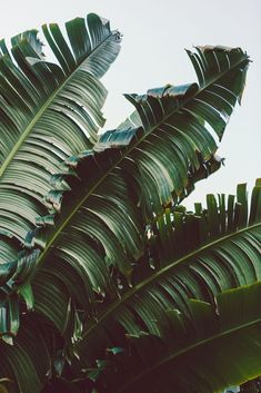 Ideas for palm tree interior design banana leaves Leaves Wallpaper Iphone, Plant Wallpaper, Banana Leaves Wallpaper, Tree Interior, Interior Decorating, Decorating Tips, Decorating Websites, Design Websites, Leaf Photography