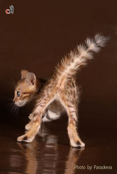 Bengal kittens love to do a tail brush ~ Photo by Paraskeva :)
