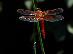 Free Dragonfly Wallpaper