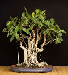 Bonsai of Ficus benghalensis - Banyan tree, age 35 years