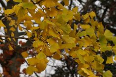 Ginkgo biloba is a deciduous tree, its leaves turn a beautiful yellow colour before falling. Pictured in November.