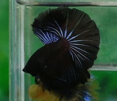 Black and blue betta