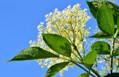 O blahodárných účincích černého bezu na zdraví se mluví a píše všude. Pozoruhodné využití nabízí bez ale i v kosmetice. Proč se vydat na sběr květů černého bezu a jak ho můžete efektivně využít pro pleť a pokožku těla? Calming Tea, Allergies, Evo, Herbalism, Plant Leaves, Organic, Plants, Elderflower Cordial, Form