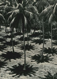 Palm tree look like alien life forms, especially at midday with their shadows beneath them.