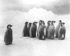 Shackleton's Antarctic Expedition, Ernest Shackleton, Frank Hurley, Antarctica, The Ralls Collection, Young Emperor Penguins, iceberg, ice floe