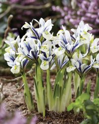 New  Eye Catcher Iris Reticulata   The light and airy shades of Eyecatcher are even showier than darker varieties. The white with indigo blue and lime green colouring is very unique. A must-have spring blooming bulb, Iris Reticulata are diminutive plants but they produce large and showy flowers in very early spring. Best planted en masse in sunny borders, rock gardens and along walkways. Deer and drought resistant with a lovely fragrance.