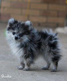 Blue Merle Pomeranian. Omg! Where do I find one! Arghhhh! #Pomeranian