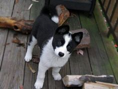 Karelian Bear Dog... another one I never heard of!