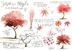 nature journal by Wen Sylvestre - Japanese Maple tree Tree Sketches, Acer Palmatum, Maple Tree, Japanese Maple, Nature Journal, Coloured Pencils, Tree Art, Journal Pages, Drawing Tips