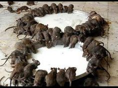 rats temple in india how to go Bikaner Karni Mata rat temple famous temples in india