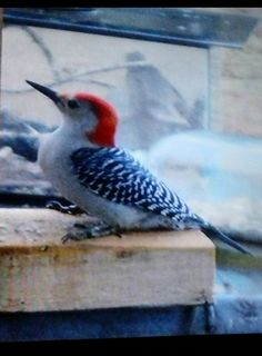 Red-bellied Woodpecker Identification, All About Birds, Cornell Lab of Ornithology Rare Species, Woodpeckers, White Wings, Bird Feathers, Forests, Beautiful Creatures, Patches, Birds, Medium