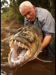 This is the goliath tigerfish - one of the most fearsome freshwater fish in the world. With teeth to rival a great white shark, it's known to attack humans and even crocodiles.