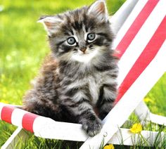 Cute Fluffy Tabby Kitten resting in her own Little Deck Chair - Aww!