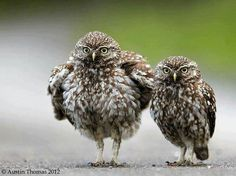 Large Owl, Little Owl ~ photo composite by Austin Thomas Pretty Birds, Beautiful Birds, Animals Beautiful, Owl Photos, Owl Pictures, Little Owl, Wise Owl, Owl Bird, Nature Animals