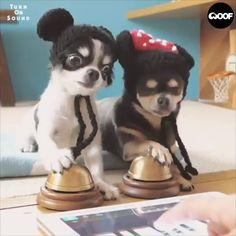 Sweet little puppies- Puppy traininig-cute dog videos Micky Maus-Dog-Süße Hunde Videos Cute Funny Animals, Cute Baby Animals, Animals And Pets, Chihuahua Puppies, Cute Puppies, Cute Dogs, Chihuahuas, Cute Animal Videos, Cute Animal Pictures