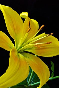 The yellow lily flower is on of 110 flowers in the lilium family. Lily Painting, Yellow Painting, Yellow Flowers, Beautiful Flowers, Amarillis, Good Day Sunshine, Glass Photography, Flowers Nature, Flower Pictures