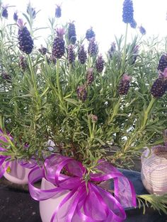 Potted Lavandula with purple accents.