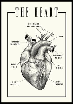 A3 Anatomical heart illustration Black/Ivory Printed on 150gsm silk paper