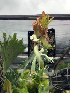 Platycerium sp. Platycerium, Ferns, Plants, Shade Plants, Plant, Planets