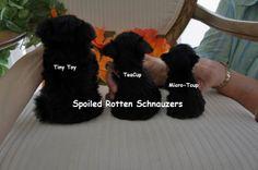 Comparing Schnauzer Sizes: tiny toy schnauzer (vs) teacup schnauzer (vs) micro-teacup schnauzer at spoiled rotten schnauzers