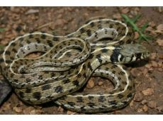 Checkered Garter Snakes are cool! I nearly ran over one on the way to work this morning - stopped to move it off of the pavement.