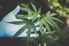 Top Developments in the Healthcare Industry Marijuana Plants, Cannabis Plant, Medical Marijuana, Medicinal Weeds, Poison Garden, Endocannabinoid System, Common Myths, Cannabis Growing, Federal