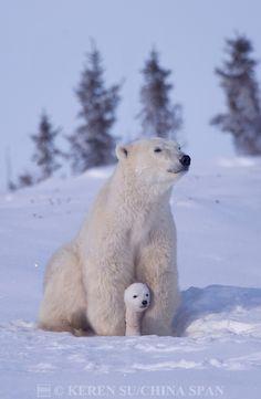 1000 images about polar bears on pinterest polar bears. Black Bedroom Furniture Sets. Home Design Ideas