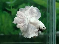 Rosetail Betta Fish - I wanted so badly to find a white Betta fish like this for my mom but no dice. Got a multicolored one and a light blue one in addition to her dark blue one. Now she's got three separate fish tanks with 3 beautiful fishies!