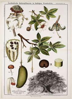 Image result for carl bollman botanical pics