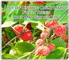 List of Unique Cold Hardy Fruit Trees that May Shock You Homesteading  - The Homestead Survival .Com