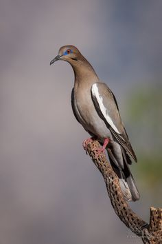 White-winged Dove by Dan Fleming