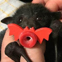 It's Bat Appreciation Day And We Totally Appreciate These Photos Of Baby Bats We Totally Appreciate These Photos Of Baby Bats - World's largest collection of cat memes and other animals Cute Creatures, Beautiful Creatures, Animals Beautiful, Cute Baby Animals, Animals And Pets, Funny Animals, Black Animals, Pet Shop, Fruit Bat