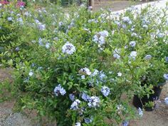 Plumbago auriculata - Cape Plumbago Medium growing semi-deciduous shrub to 2-6 feet tall and about as wide. Pale blue flowers bloom mostly in summer. Likes full sun and moderate to little water. Drought tolerant once established, tolerant of heat and poor soil. Excellent shrub for a dry bank or slope, easily pruned to desired shape and size. Fire-resistant for defensible space Growth Rate:  Fast Exposure: Full sun/Partial Shade Water Needs:  Low (Water-wise) Height:  Medium Plant Type: …