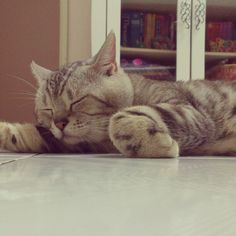 How much an American Shorthair Sleeps?.Click the picture to read
