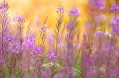 Fireweed on Fire by Jim Brandenburg