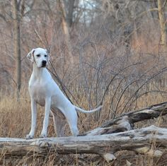 English Pointer- Beautiful! Same breed as our pup but she has more strawberry patches and freckles than this one. ♡Her.