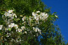 Jasmiinikin kukkii edelleen