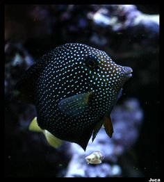 Zebrasoma gemmatum - Spotted Tang