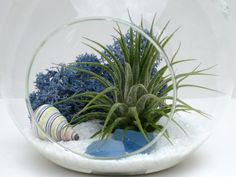 Beach Terrarium White Sands Air Plant by BeachHouseStyles on Etsy