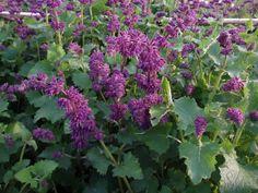 SALVIA verticillata 'Purple Rain' - til det blå bed!!!
