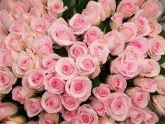 Sweet Akito Roses