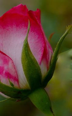 Pink tipped rose