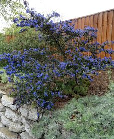 Ceanothus 'Dark Star' drought tolerant evergreen shrub grows 5' high  wide, intense blue flowers in spring, beloved by bees. Great for top of slope or foundation shrub. Easy to prune to size.